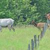 piebald cow elk - jr. makes it look easier
