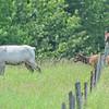 piebald cow elk  &  ...jr. just walks through the stands of barbwire