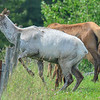 piebald cow elk getting ready to jump the fence