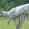 piebald cow elk & the flies continue to harass