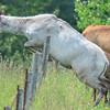 piebald cow elk - she makes it look easy