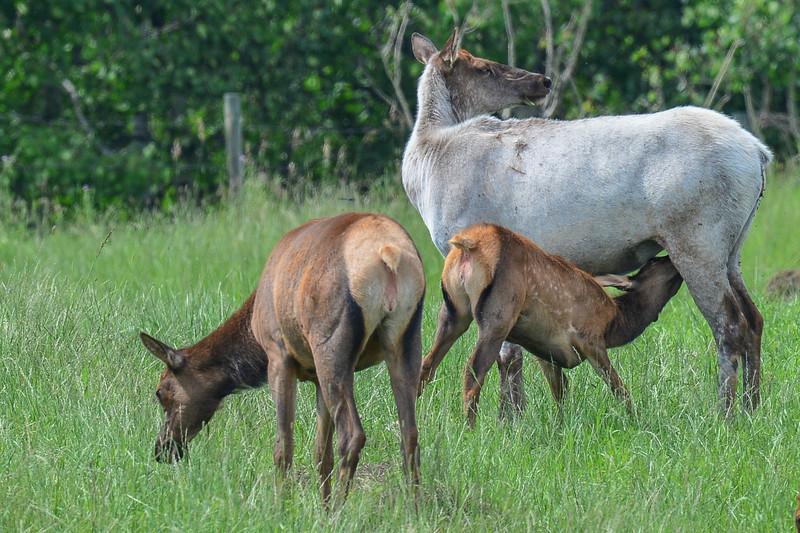 piebald cow elk with her calf feeding