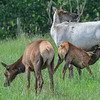 piebald cow elk with her calf feeding