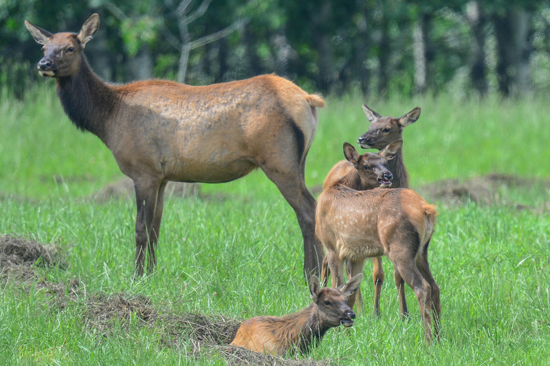 cow elk with twins