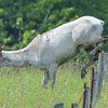 piebald cow elk - the flies bailed out while she was jumping the fence