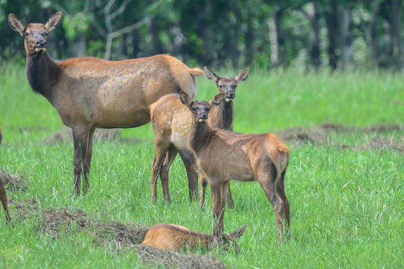cow elk with twins - other elk in the herd