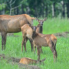 cow elk with twins - other elk in the herd