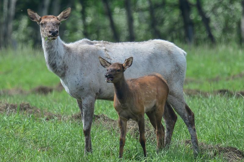piebald cow elk with her calf