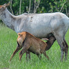 piebald cow elk with her calf