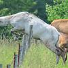 piebald cow elk