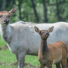 piebald cow elk with her calf - you can see the flies that just cling to the elk mom.....they are continually brushing trying to relieve the agony.  The flies are on her face, shoulders and rump