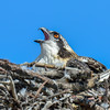juvenile osprey - ok I'm ready for the food