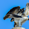juvenile osprey - they can get in some pretty weird positions