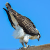 juvenile osprey getting ready to jump down on the nest