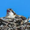 juvenile osprey on the nest