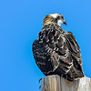 juvenile osprey waiting for food - this is 1 of 2 juveniles at this nest