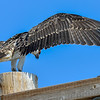 juvenile osprey practicing for take off