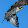 juvenile osprey - they can fly a little but have problems with the landings