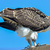 juvenile osprey - this is the second juvenile