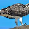 juvenile osprey - mom please call home....I am hungry