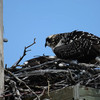 the darn music was complements of a construction site with the radio cranked.....<br /> these are the 2 juveniles in the nest....the one furthest away has a fish and never shares a bit with the front one