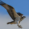 osprey - juvenile getting ready to cling on to anything it lands on