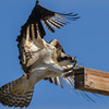 osprey - juvenile it always has a problem and lands a little low but does a nice recovery