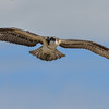 osprey - juvenile taking a flight around area...this is the larger of the 2