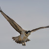 osprey - juvenile practice flight