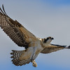 osprey - juvenile wheels are down for the landing