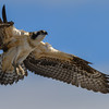 osprey - juvenile gettng ready to try a landing