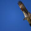 During 13 days in 2008, one Osprey flew 2,700 miles—from Martha's Vineyard, Massachusetts, to French Guiana, South America.  They tracked it with lightweight satellite transmitter.