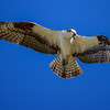 Unable to dive to more than about three feet below the water's surface, Ospreys gravitate toward shallow fishing grounds.