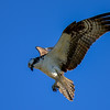 Ospreys are unusual among hawks in possessing a reversible outer toe that allows them to grasp with two toes in front and two behind. Barbed pads on the soles of the birds' feet help them grip slippery fish.