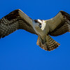 the osprey was almost like an owl moving its head around to get better views
