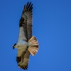 Over several studies, Ospreys caught fish on at least 1 in every 4 dives, with success rates sometimes as high as 70 percent.
