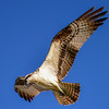 they hoover and look around as they circle the pond...Hunting Ospreys are a picture of concentration, diving with feet outstretched and yellow eyes sighting straight along their talons.
