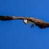 The Osprey is the only hawk on the continent that eats almost exclusively live fish.