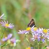 milbert's tortoise shell butterflies & a bee