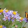 milbert's tortoise shell butterflies