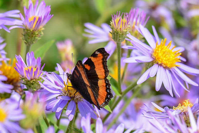 milbert's tortoise shell butterfly sitting on wild asters