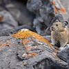 Pikas are small mammals, with short limbs and small rounded ears. They are about 15 to 23 centimetres (5.9 to 9.1 in) in body length and weigh between 120 and 350 grams (4.2 and 12 oz), depending on species. <br /> Pikas (Ochotonidae) are a group of lagamorphs that includes about 30 species.