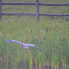 great blue heron - lining up for a landing