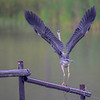 great blue heron - the mist was very heavy and when it flew across the pond it was getting hard to see because of the mist