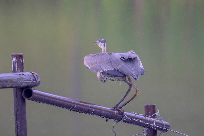 great blue heron on a fence at a pond in the mist