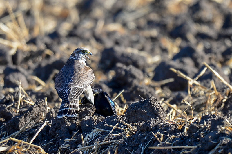this merlin just caught a small black bird for a meal...it had a hard time flying with it in one claw