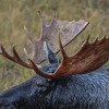 this bull moose has one blind eye on this side...you can see it here it's very cloudy looking