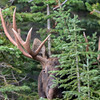 here comes the bull moose