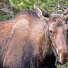 one for 4 cows in the area with the larger bull moose