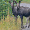 I was down in Fernie on Thursday and found these 2 calf Moose....just as interested in me as I was in them...